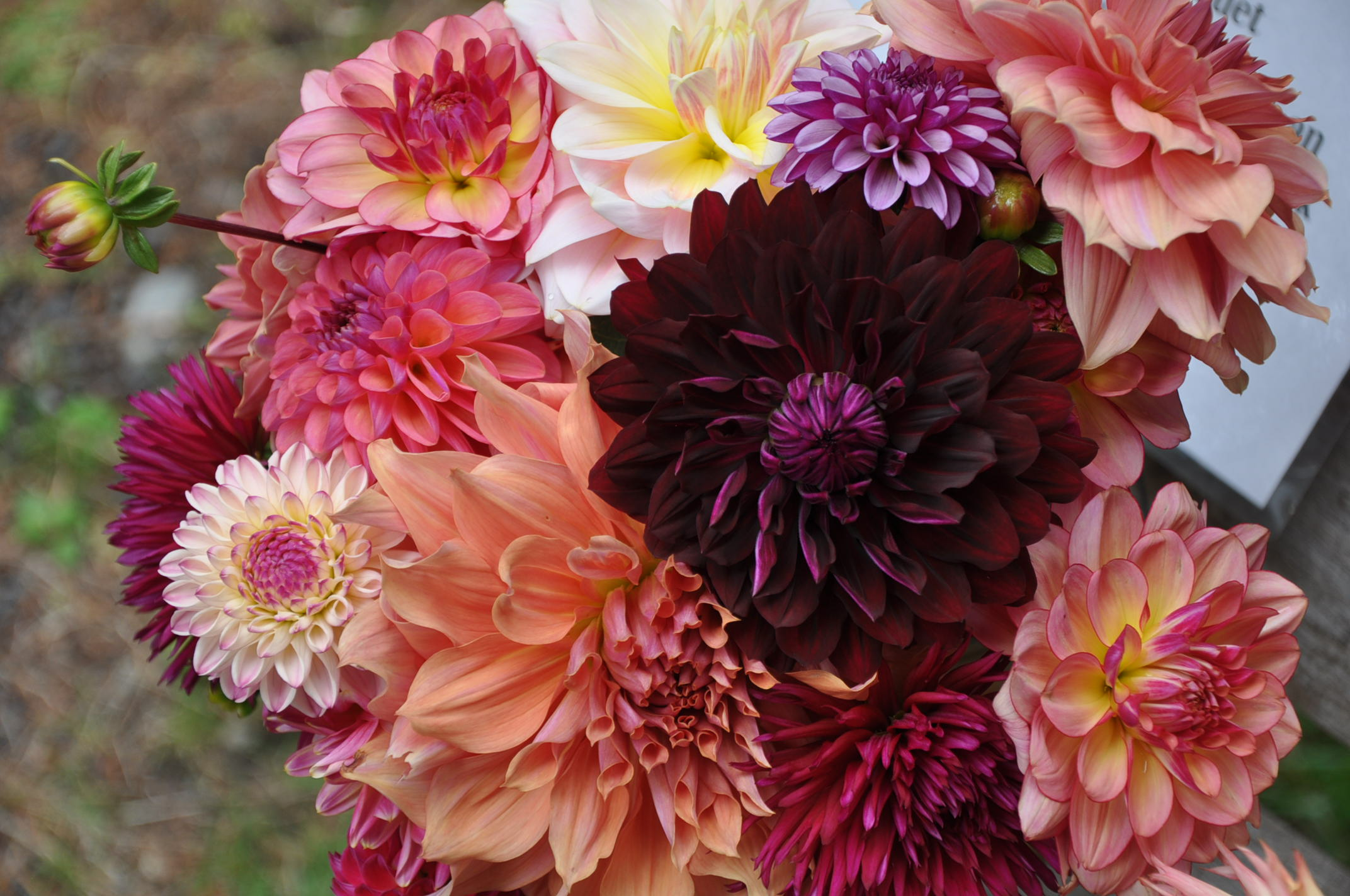 A dahlia cut flower wedding bouquet featuring corals, deep purples, peaches, oranges and pinks.
