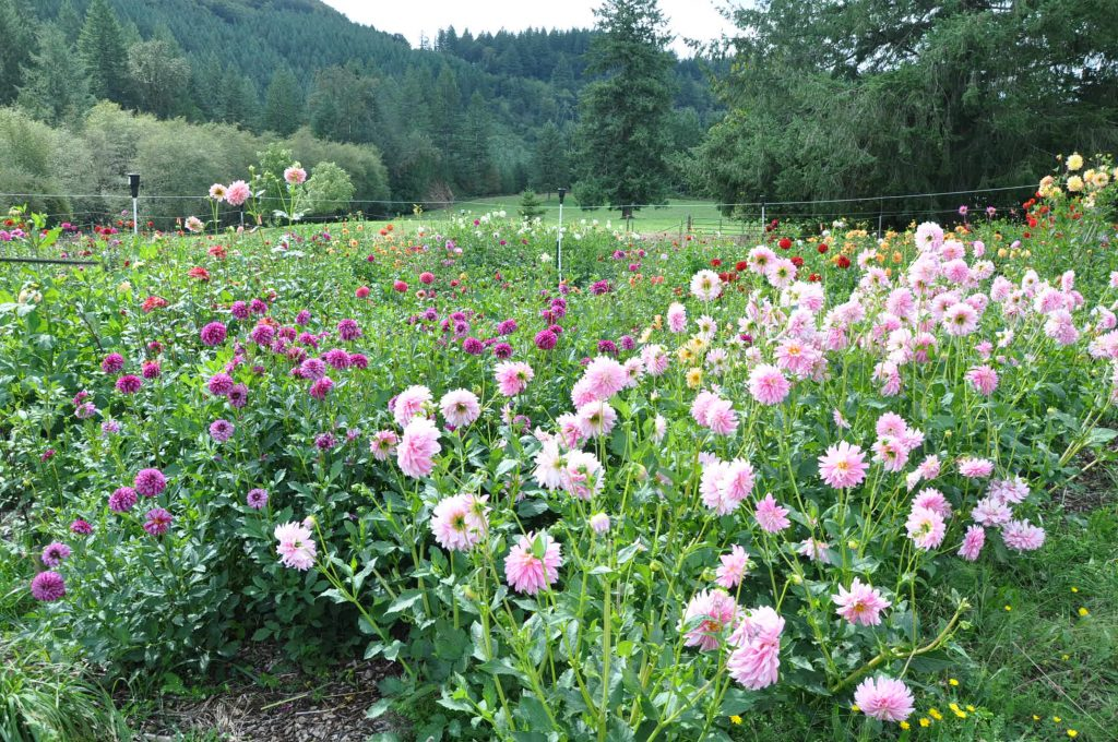 Evelyn's Garden and Nursery Baby Pink 'Alloway Candy' and Purple 'Hugs and Kisses' dahlia tuber varieties in a green field