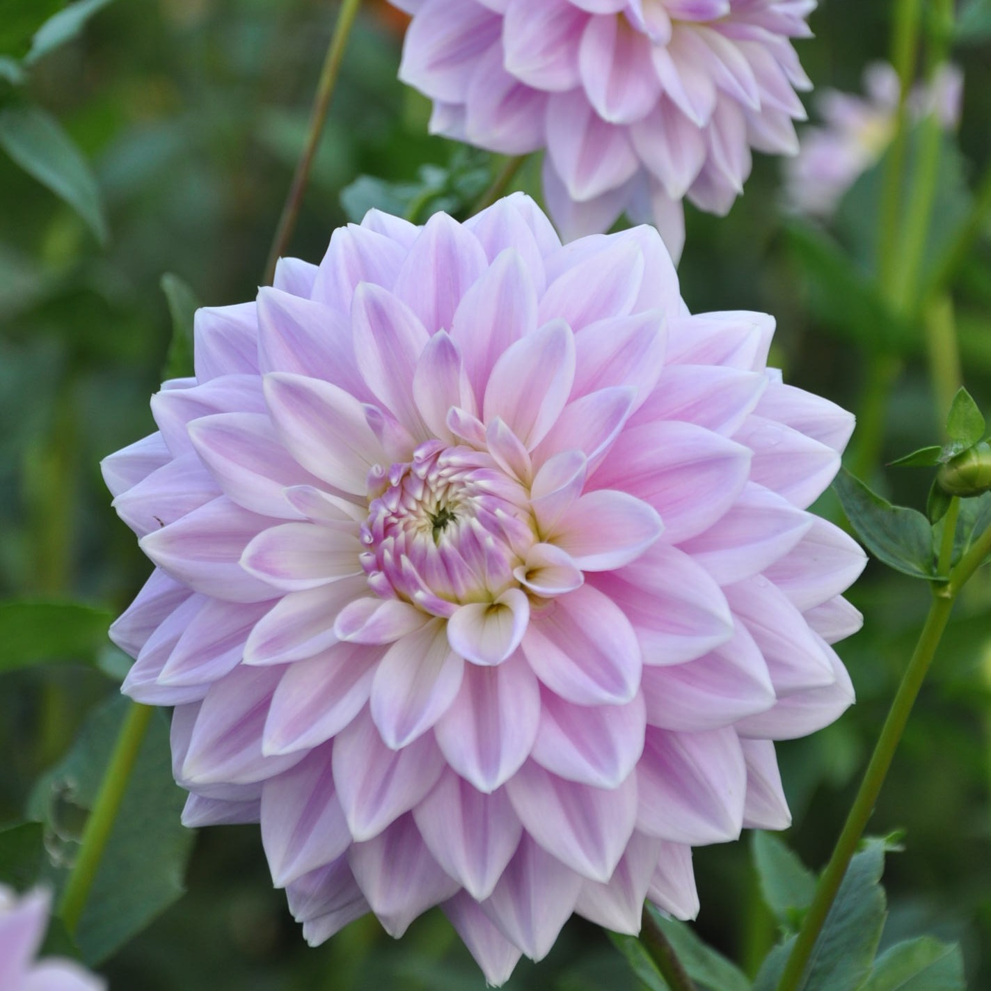 Ferncliff inspiration light purple dahlia tuber variety out in the garden