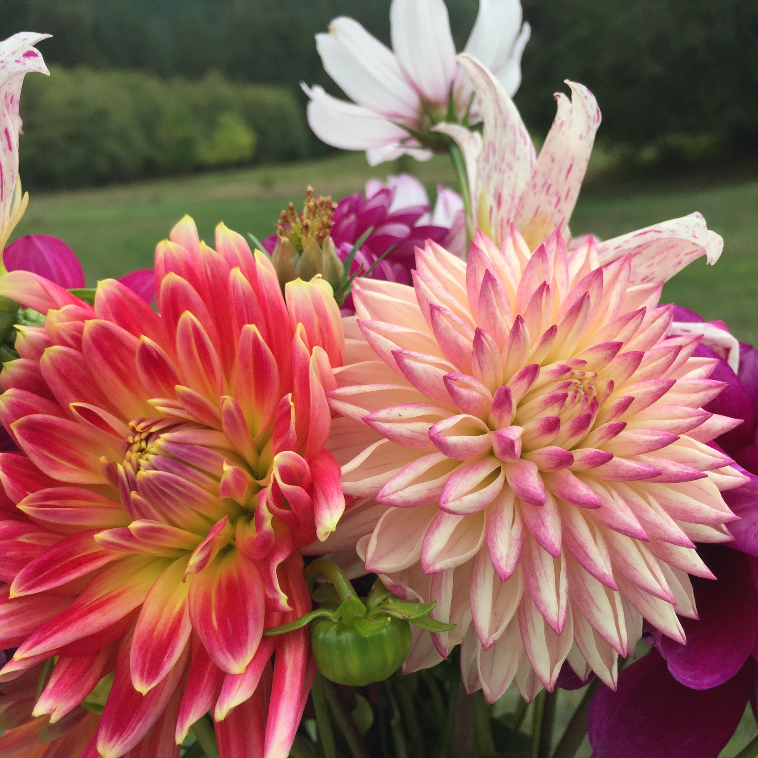Two spikey dahlia tuber varieties 'Tutti Fruitti' and 'Valley Porcupine' in a bouquet