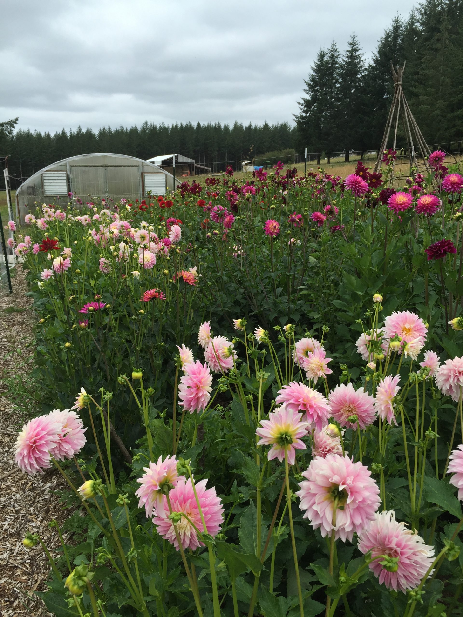 Evelyn's Garden Dahlia Tuber Farm, with pink 'Alloway Candy Dahlias' and the greenhouse in the background
