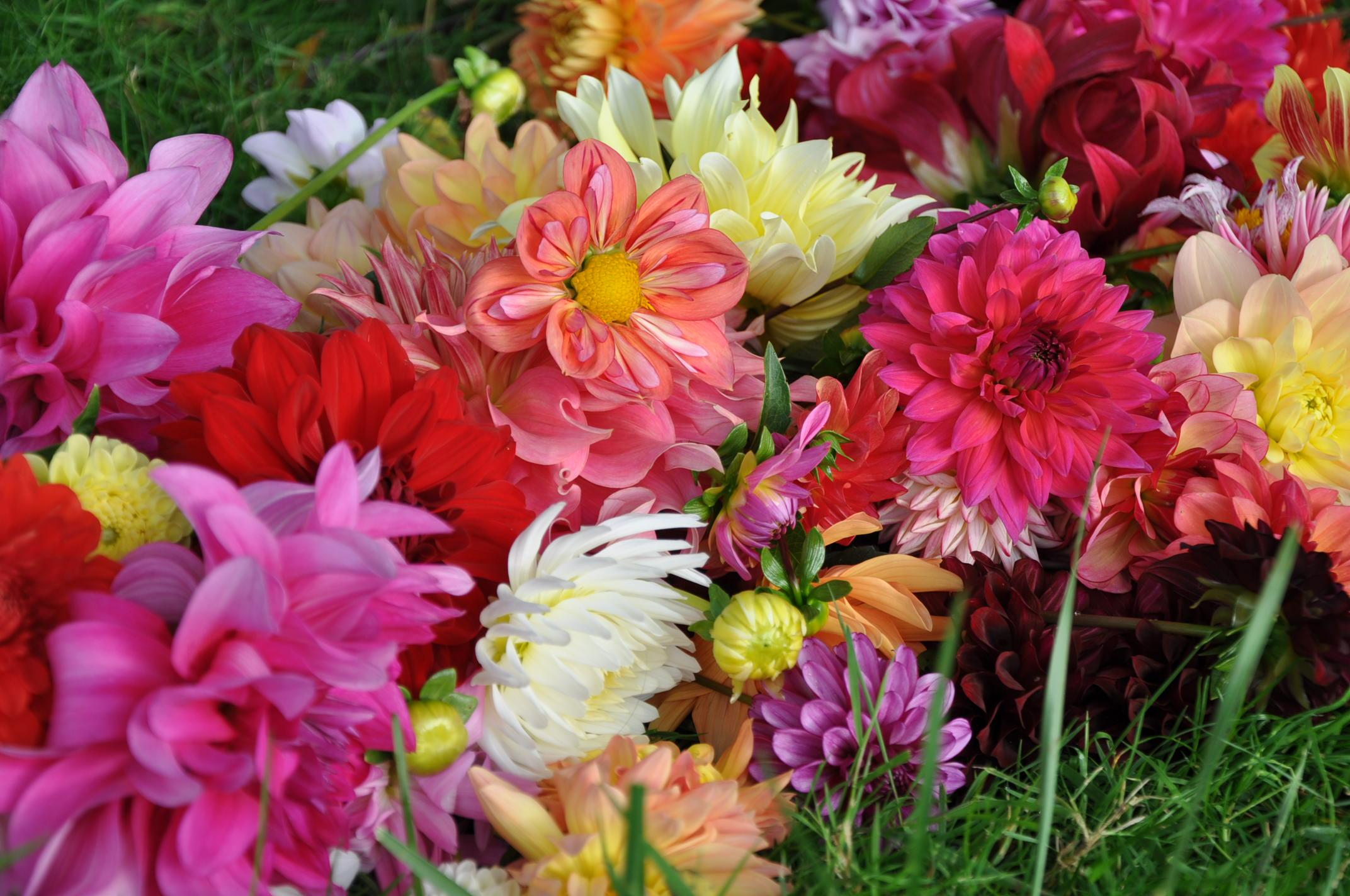 A pile of rainbow dahlias