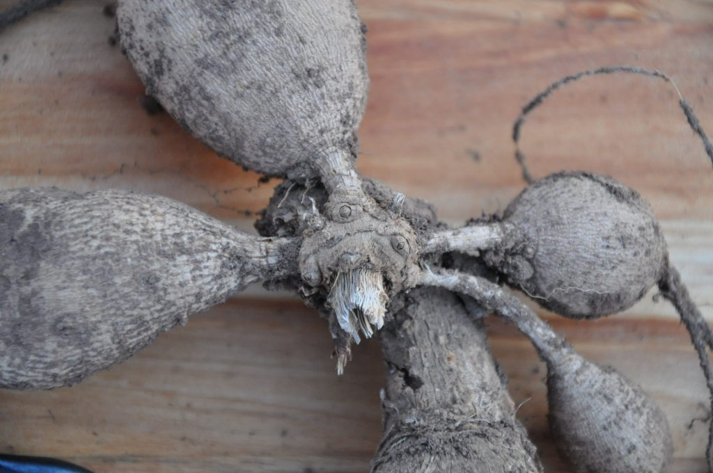 Large dahlia tuber with three easy to spot eyes