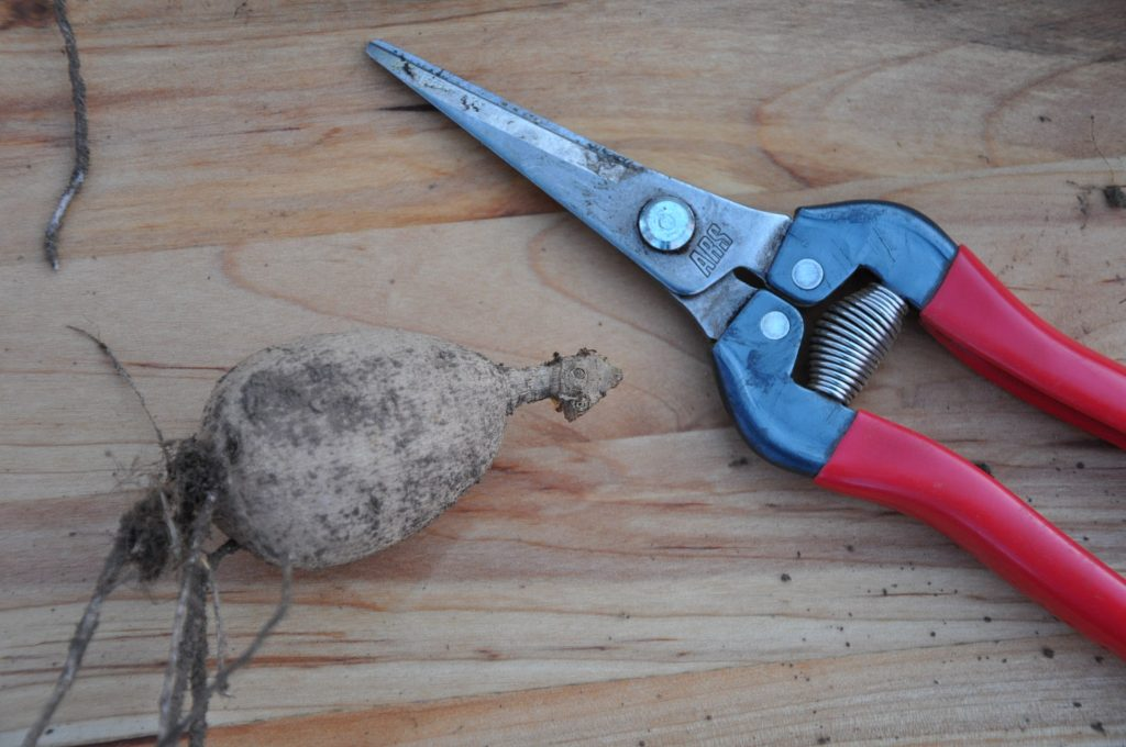 One small dahlia tuber with pruners to scale