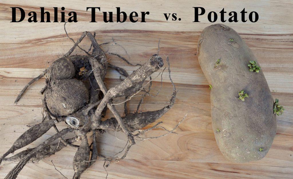 Dahlia tuber vs. potato