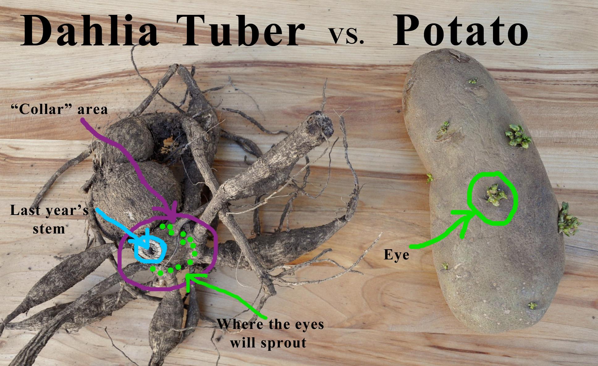 Dahlia tuber compared to potato