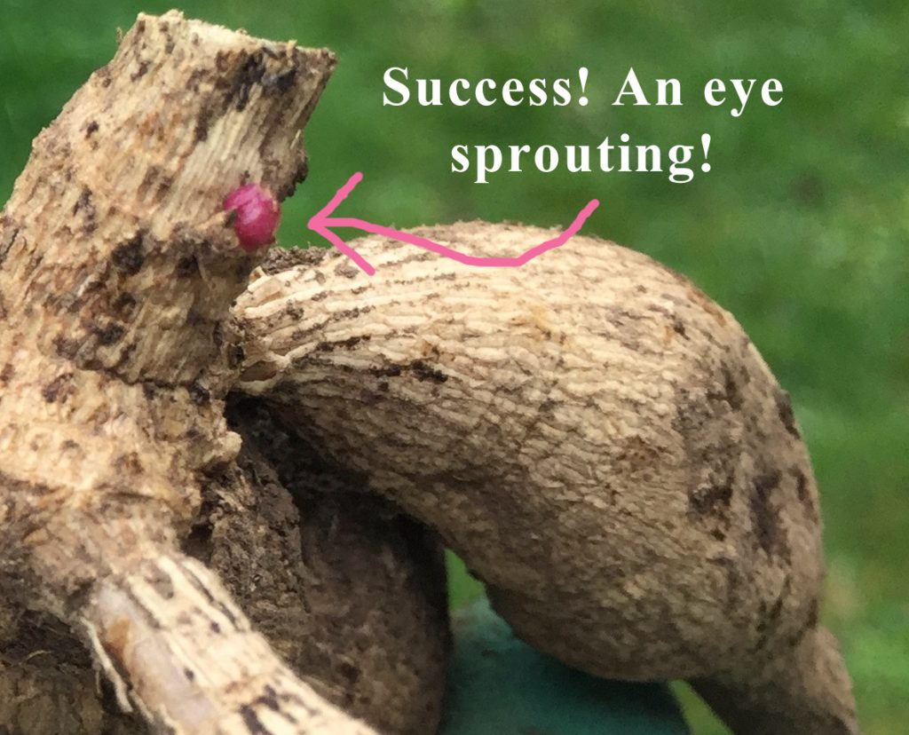 An example of an eye sprouting
