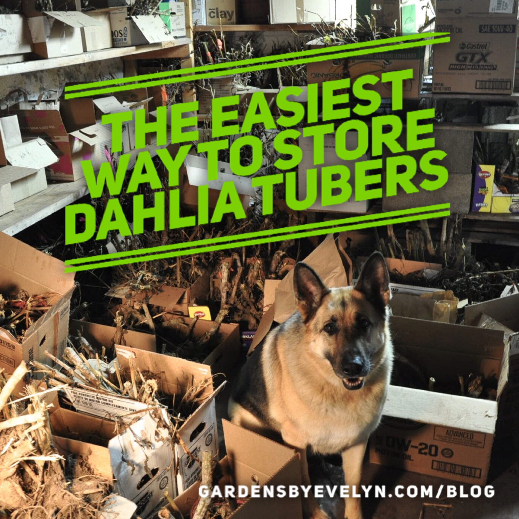The easiest way to store dahlia tubers