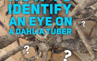 How to identify an eye on a dahlia tuber