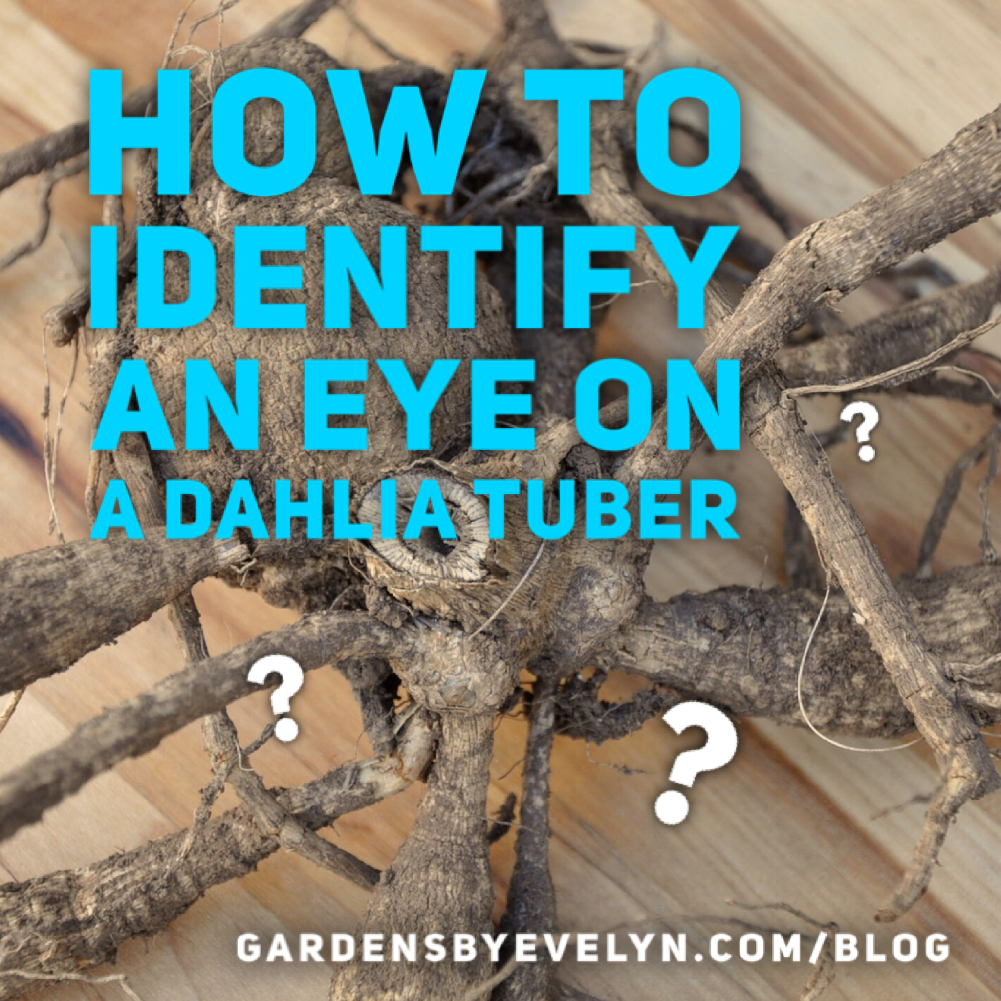 How to identify an eye on a dahlia tuber