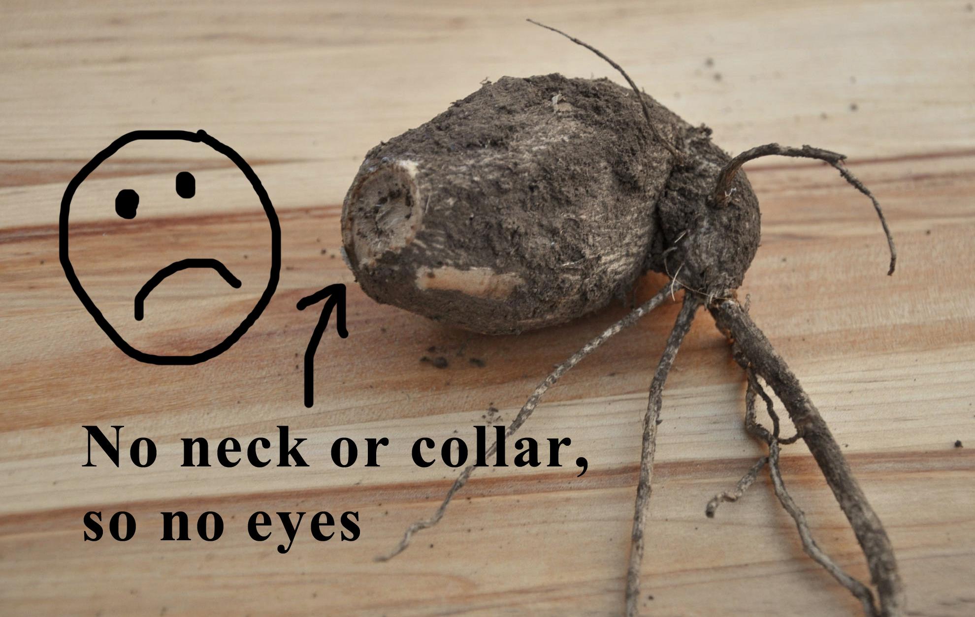 No neck or collar, then definitely no dahlia tuber eyes