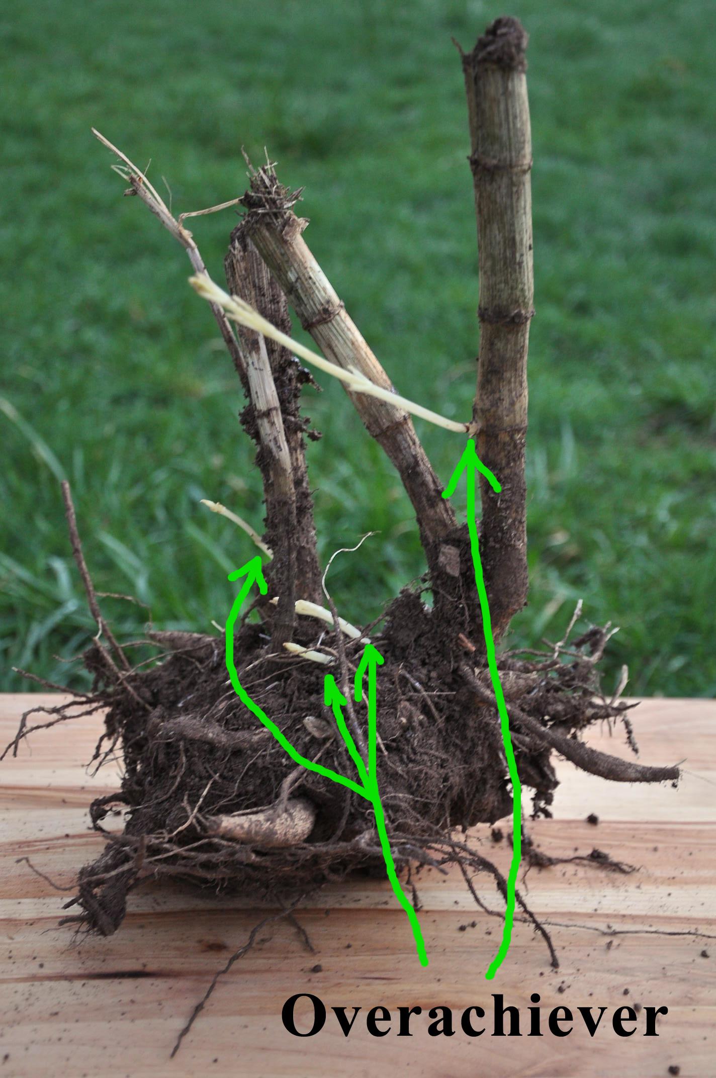 Overachiever dahlia tuber
