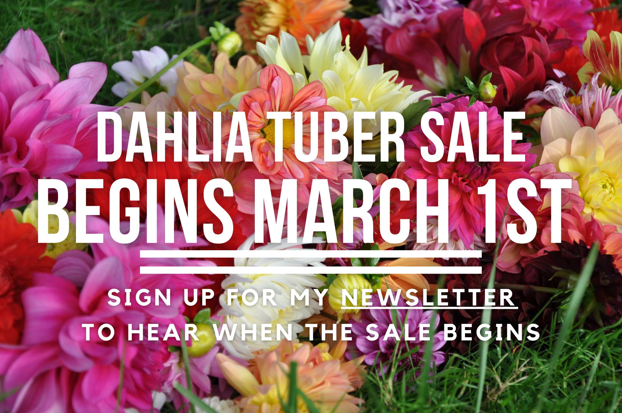 Dahlia Tuber Sale Begins March 1st