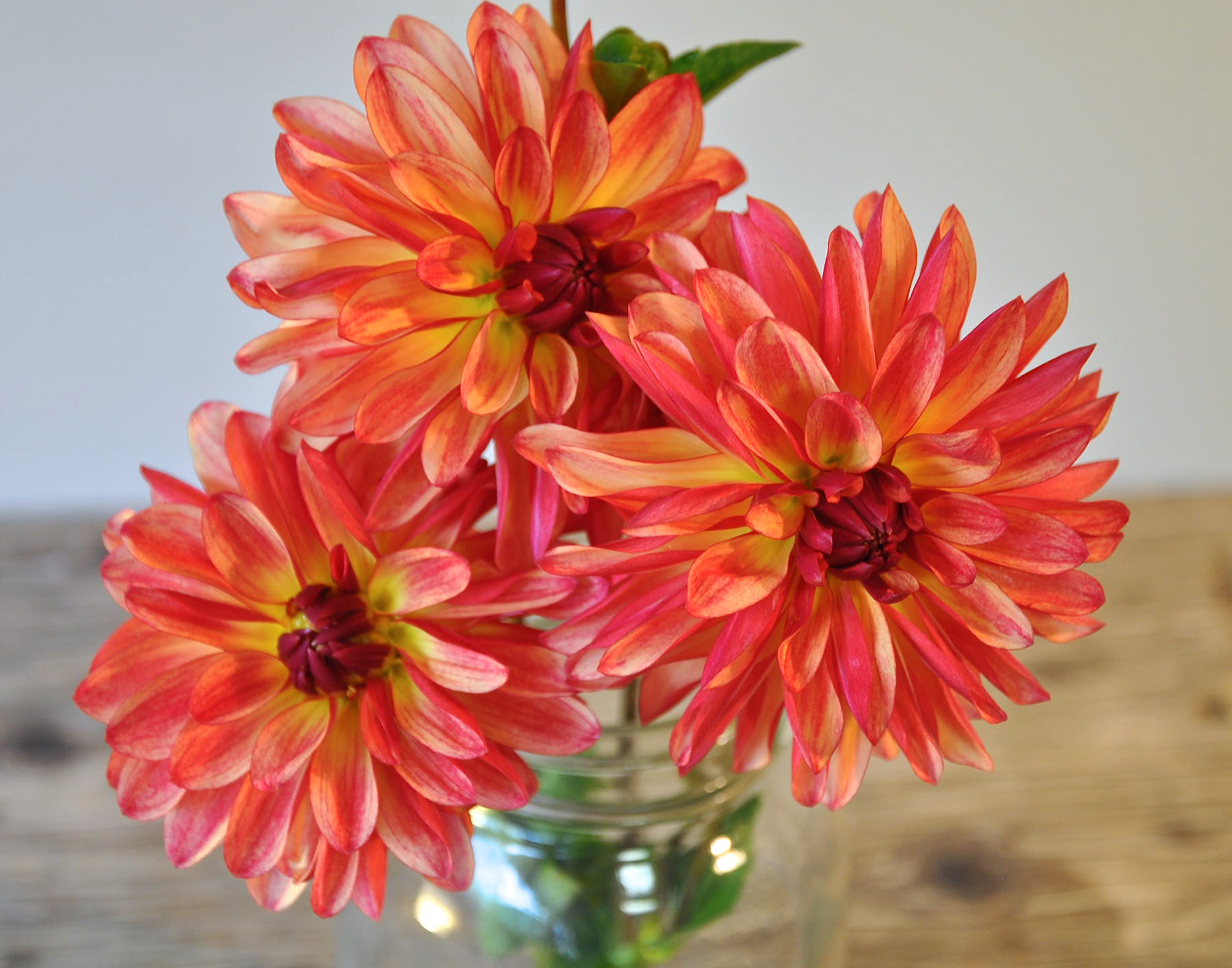 'Fidalgo Julie' is an example of a tested dahlia variety for growing in hot climates