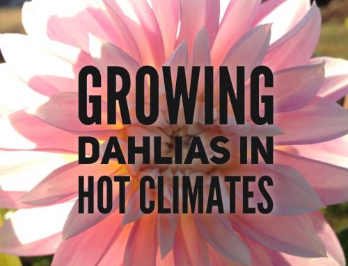 Growing Dahlias in Hot Climates